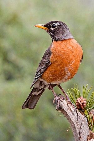 Turdus migratorius American Robin, Cabin Lake ...