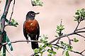 American Robin 20140512.jpg