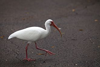 American white ibis - Adult American white ibis on pavement outside of Orlando, FL.
