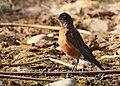 American robin at Seedskadee National Wildlife Refuge (51248492837).jpg