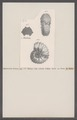 Ammonites deluci - - Print - Iconographia Zoologica - Special Collections University of Amsterdam - UBAINV0274 091 01 0035.tif