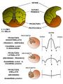 Ammonites prosuture.PNG