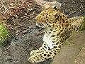 Amur Leopard Edinburgh.JPG