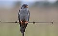 Amur falcon, Falco amurensis, male, R42, Gauteng, South Africa (32774847312).jpg