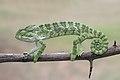 An Indian chameleon wildlife in Andhra Pradesh India 2016.jpg