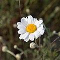Anacyclus clavatus-Fleur-20150424.jpg