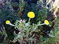 Anacyclus valentinus (herba de boligs) (16437428587).jpg