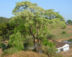 Anadenanthera colubrina - Anadenanthera colubrina