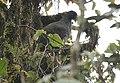 Andean Guan (Penelope montagnii).jpg