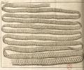 Andry - De la génération des vers (1741), planche p. 195.png