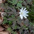 Anemone pseudoaltaica 14.jpg