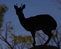 Animal in Silhouette (4232347416).jpg