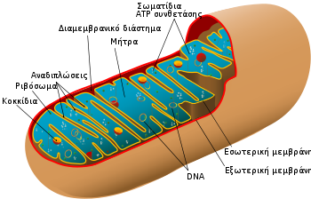 Animal mitochondrion diagram el.svg