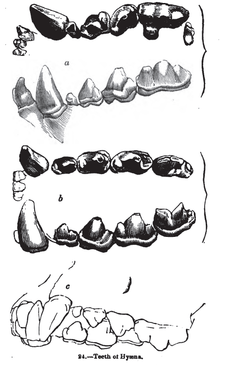 Dentition, as illustrated in Knight's Sketches in Natural History Animaldentition hyaenahyaena.png