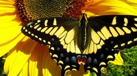 File:Anise Swallowtail (Papilio zelicaon) in California.webm