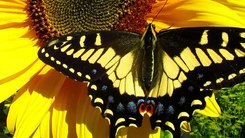 Податотека:Anise Swallowtail (Papilio zelicaon) in California.webm