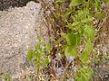 Anisochilus carnosus (9872737675).jpg