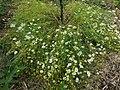 Anthemis cotula plant (04).jpg