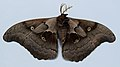 Antheraea polyphemus UMFS 2015 1.JPG