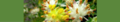 Anthyllis vulneraria. Reader.png