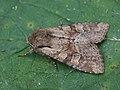 Apamea sordens - Rustic shoulder-knot - Зерновая совка обыкновенная (40406705324).jpg