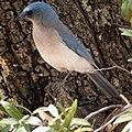 Aphelocoma wollweberi Tucson AZ.jpg