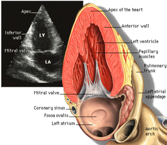 Transthoracic echocardiogram - Apical two chamber