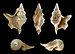 Aporrhais pespelecani fossil 01.JPG