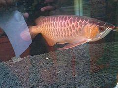Aquarium fish 2.jpg