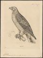 Aquila pennatus - 1700-1880 - Print - Iconographia Zoologica - Special Collections University of Amsterdam - UBA01 IZ18100215.tif
