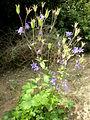Aquilegia vulgaris 2c.JPG