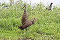 Aramus guarauna (Limpkin) 10.jpg
