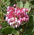 Arctostaphylos pringlei ssp drupacea 3.jpg