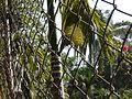 Areca catechu (3528644960).jpg
