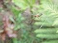 Argiope spider in India.jpg
