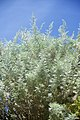 Artemisia arborescens-2115.jpg