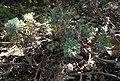 Artemisiakawakamii.jpg