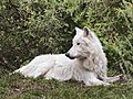 Artis Hudson Bay Wolf (35735825763).jpg
