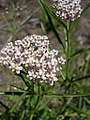Asclepias fascicularis beetle-7-08-04.jpg