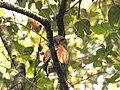 Asian barred owlet.jpg