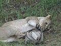 Asiatic Lioness 15.jpg