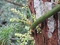 Asparagus racemosus - Satawari flowers - at Peravoor 2018 (5).jpg