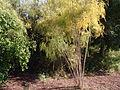 Asparagus scoparius (3).JPG