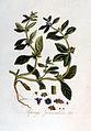 Asperugo procumbens — Flora Batava — Volume v2.jpg