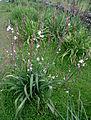Asphodelus ramosus kz1.JPG