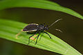 Assassin bug from Ecuador (16776194693).jpg