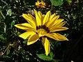 Asteraceae (2192227927).jpg