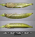 Astragalus asper sl9.jpg