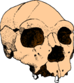 Atapuerca skull-5.png