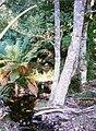 Atherosperma-XiRoad-BrownsMt1996.jpg